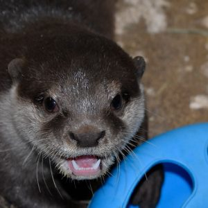 Asian small clawed otter at SeaQuest