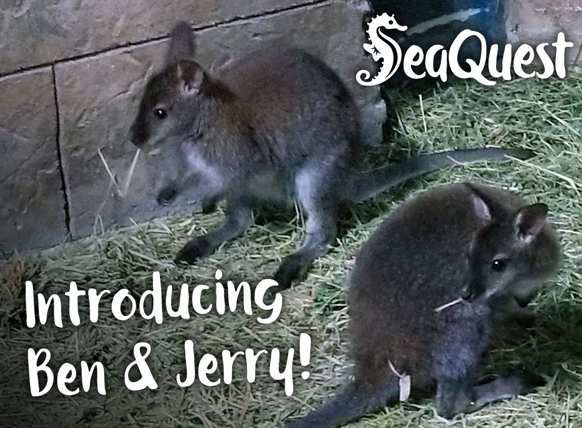 From the Land Down Under - Meet our Wallaby friend!